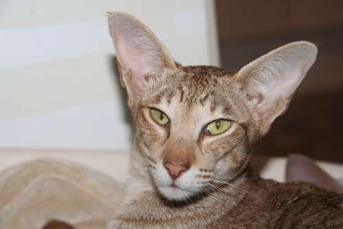 Cat Oriental Shorthair Cozy Stripes Closeness Fur