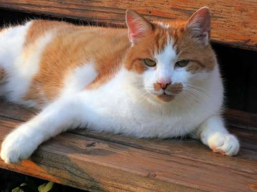 Cat Domestic Cat Pet Red White Animal Sweet