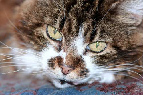 Cat Feline Domestic Pet Cute Tabby Eyes Green