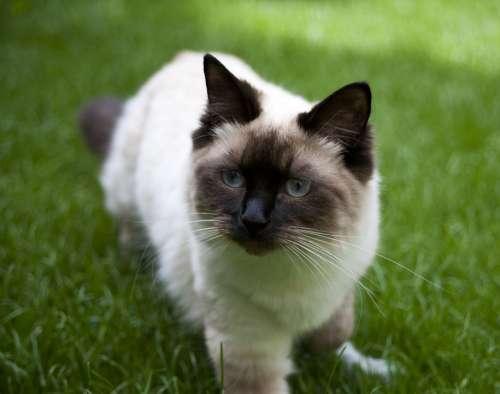 Cat Ragdoll Brown Cream Cute Animal Pet Feline