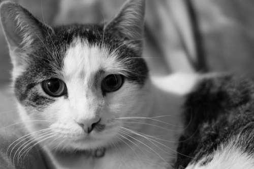Cat Domestic Shorthair Pet Animal Cute Feline