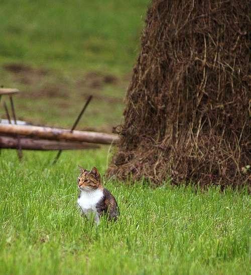 Cat Animal Mammal Fur Coat Pinto Waiting Hunting