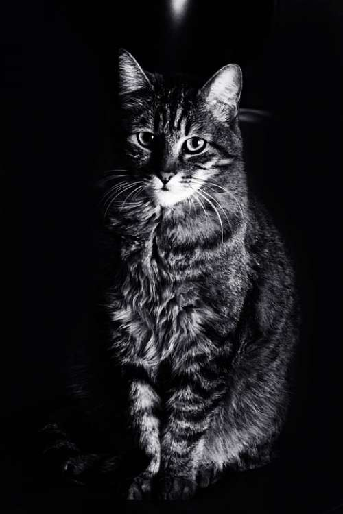 Cat Animals Feline Black White