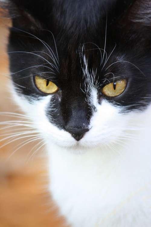 Cat Eyes Animal Feline Hunting Face
