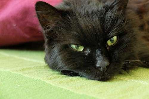 Cat Cat'S Eyes Black Cat Mieze Lazy Furry