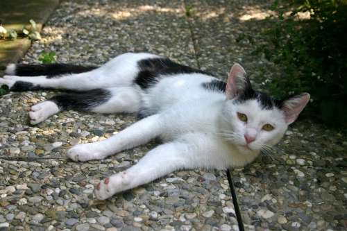 Cat Young Domestic Cat Animal Pet Black And White