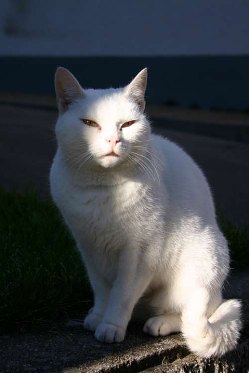 Cat Pet Animal Mammal White Sun Sit Sitting