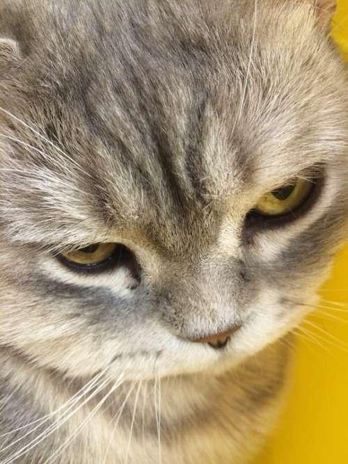 Cat Pet Fur Grey Kitten Closeup Animal View
