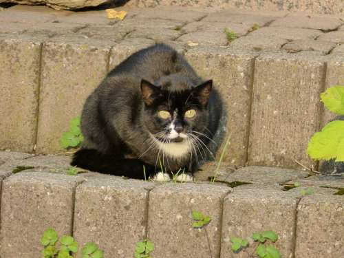 Cat Felidae Mammal Animal Predator Eyes Black