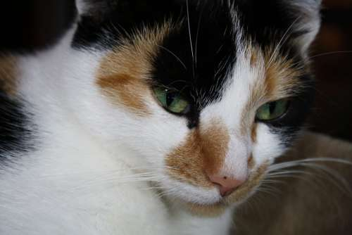 Cat Face Cat'S Eyes Portrait Cat