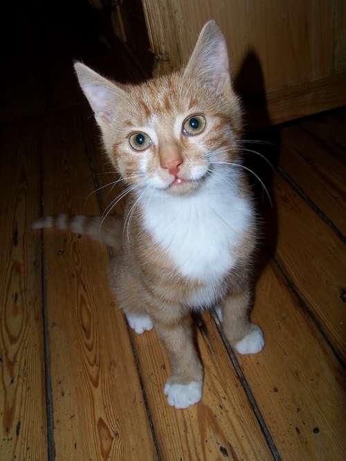 Cat Puppy Cat Domestic Cat Nose Cat'S Eyes Kitten