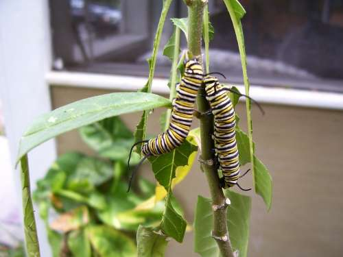 Caterpillar Monarch Butterfly Milkweed Plant