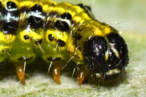 Caterpillar Bug Animal Macro