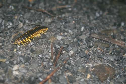 Caterpillar Insect Gravel Yellow Black Bug