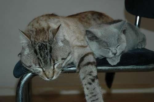 Cats Pet Animal Close Up Cat Face Feline Sleep