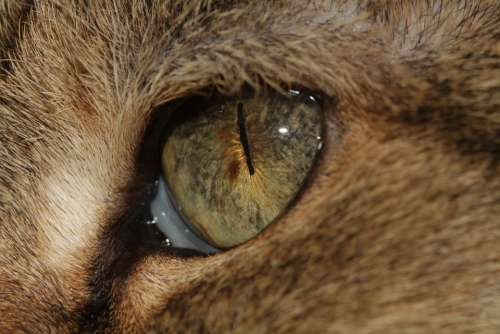Cat'S Eye Eye Pupil Cat Domestic Cat Nose Animal