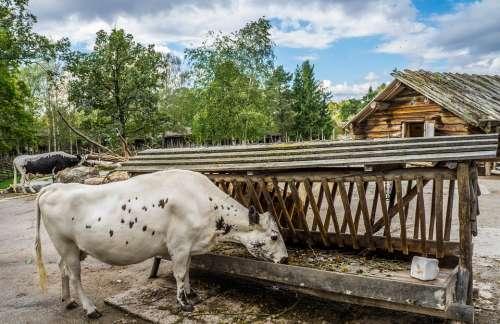 Cattle Dairy Cow Livestock Farm Animal Nature