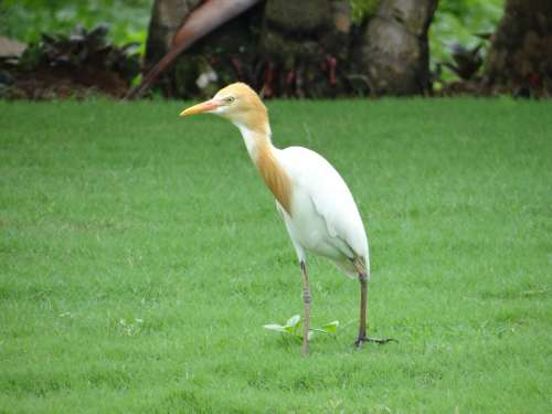Cattle Egret Bird Egret White Beautiful Karnataka