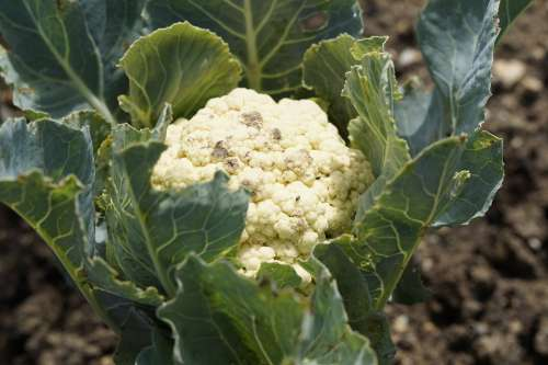 Cauliflower Grow Cultivation Bed Garden