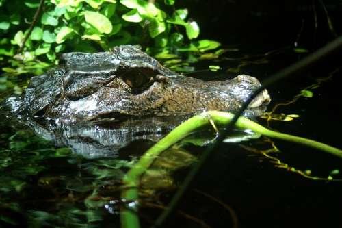 Cayman Eye Close Up Water Alligator Reptile