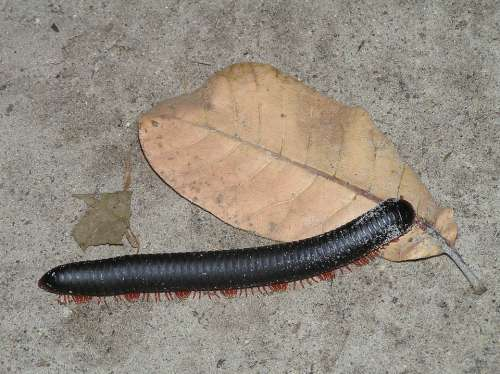 Centipede Centipedes Legs Africa Animals Insect