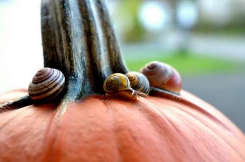 Cepaea Snails Snails Pumpkin Autumn Slowly Reptile