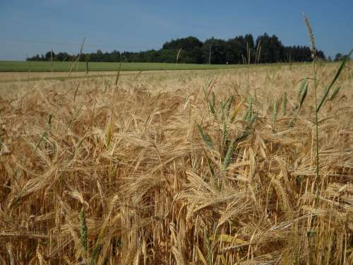 Cereals Cornfield Field Barley Agriculture Summer