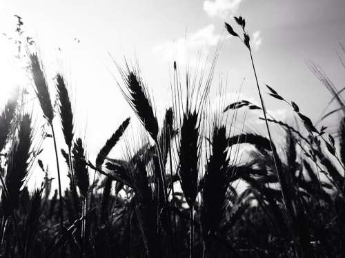 Cereals Wheat Field Ear Grain