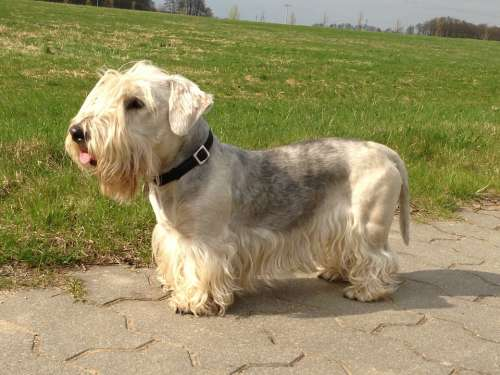 Cesky Terrier Bohemian Terrier Dog Meadow