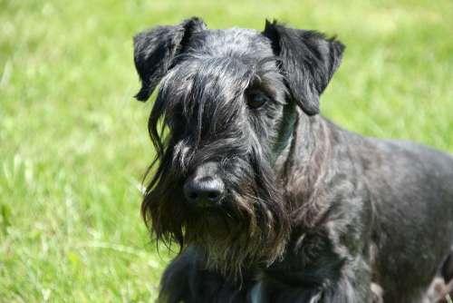 Cesky Terrier Bohemian Terrier Terrier Head Portrait