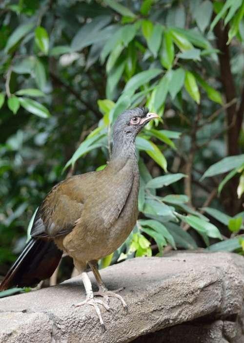 Chaco Chachalaca Bird Exotic Wildlife Nature