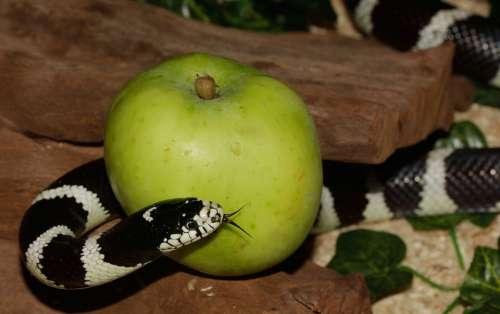 Chain Natter Snake California Getula King Snake