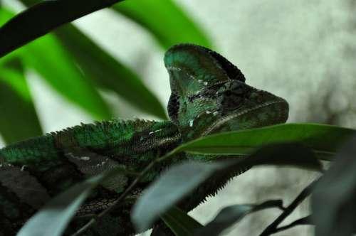 Chameleon Reptile Animal Green Head Eye Close Up