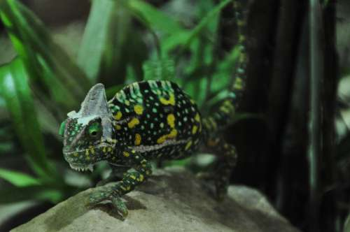 Chameleon Reptile Animal Green Insect Eater Color