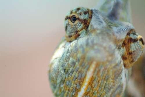 Chameleon Eye Reptile Yemen Chameleon Lizard