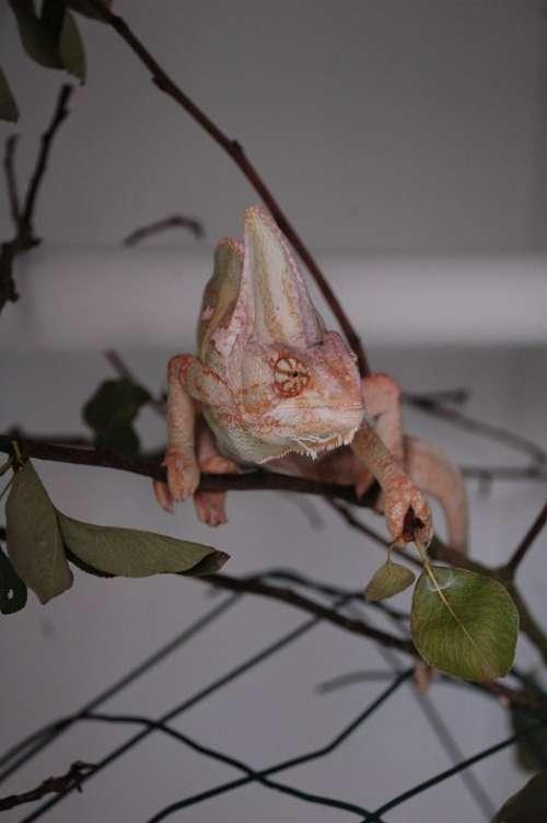 Chameleon Animal Exotic Nac
