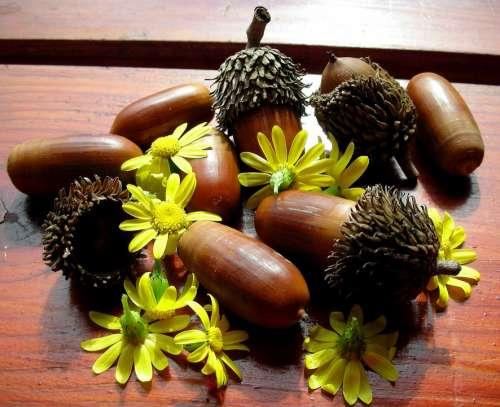 Chamomile Acorns Flower Yellow Day Closeup Wood