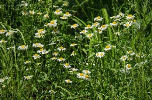 Chamomile Flowers Daisy White Flower White Flowers
