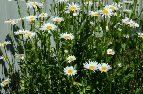 Chamomile Flowers Daisy White Closeup Bloom June