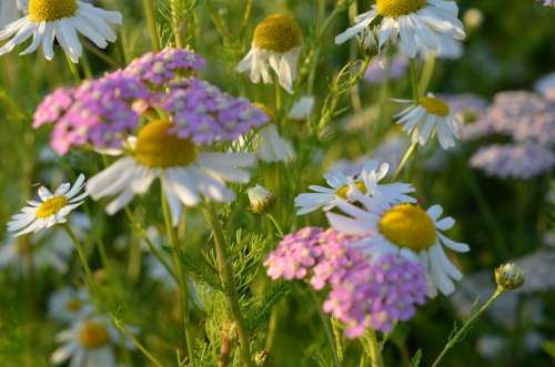 Chamomile Flowers Flower Meadow Wild Flowers Plant