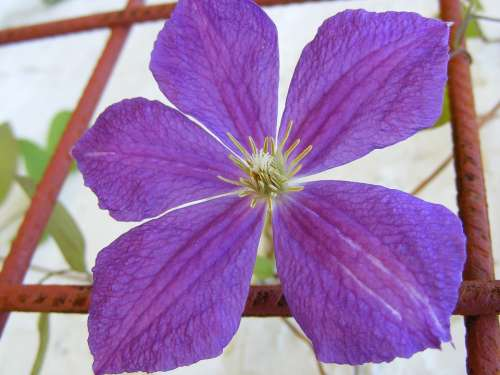 Charm Clematis Flowers Garden Violet Plants