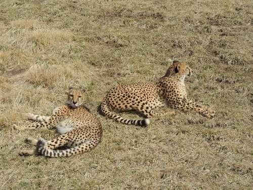 Cheetah Animals Safari Outdoors Wild Wildlife
