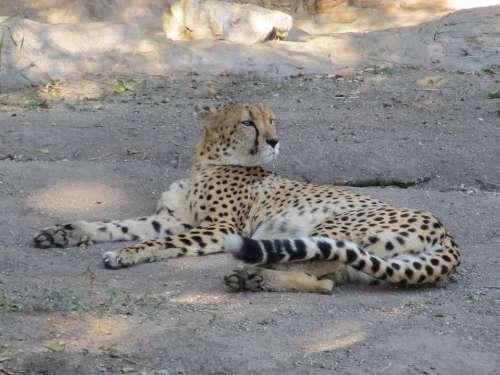 Cheetah Big Cat Cat Acinonyx Jubatus Mammal Zoo