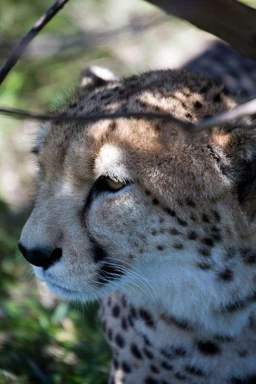 Cheetah Wildlife Cat African Spots Africa