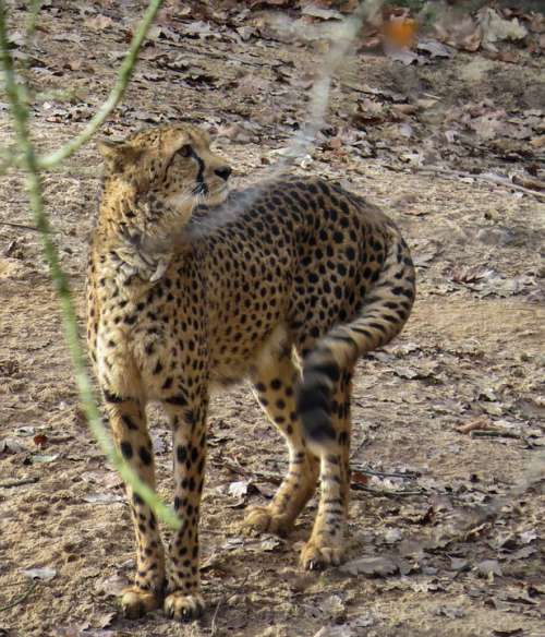 Cheetah Animals Predator Big Cat Speed