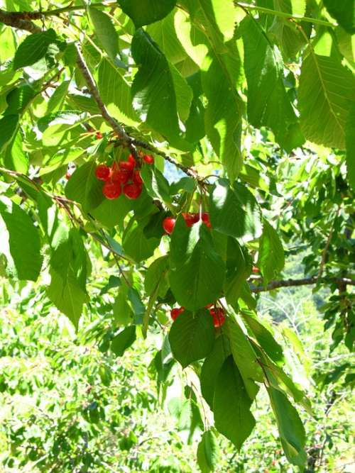 Cherries Tree Sicily Leaves Green Plant Nature
