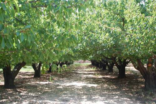 Cherry Orchard Trees