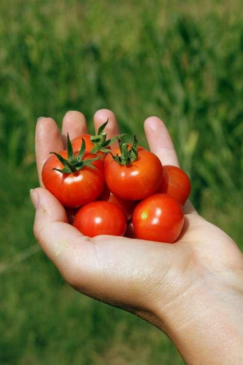 Cherry Hand Handheld Matina Red Small Tomato