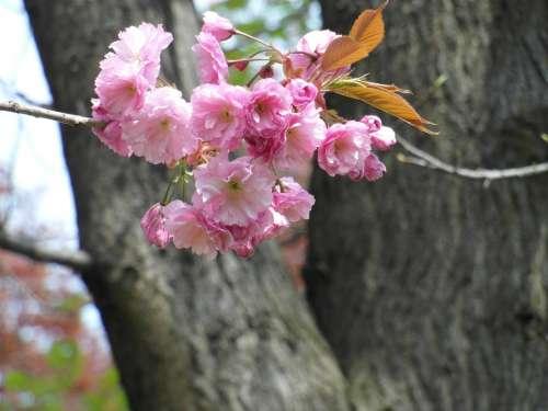 Cherry Blossom Pink Spring Tender Blossom Bloom