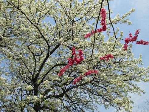 Cherry Blossom White Red Park Plant